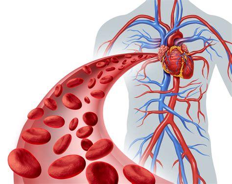 interesting facts   circulatory system