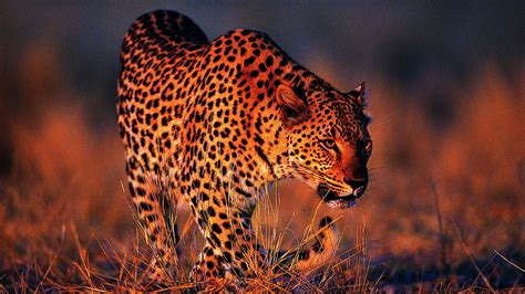 Leopard Design Wallpaper