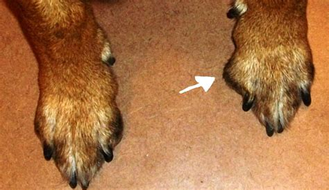 puppy toes sore paw between pads breeds picture