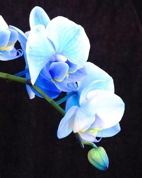blue orchid blue orchids