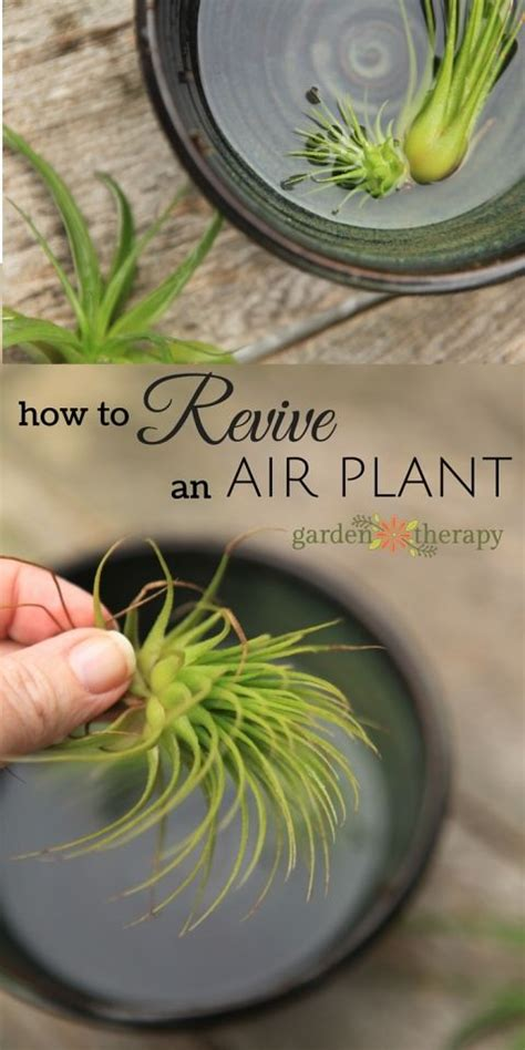 how to revive a plant how to revive a sick air plant air plants water and plants