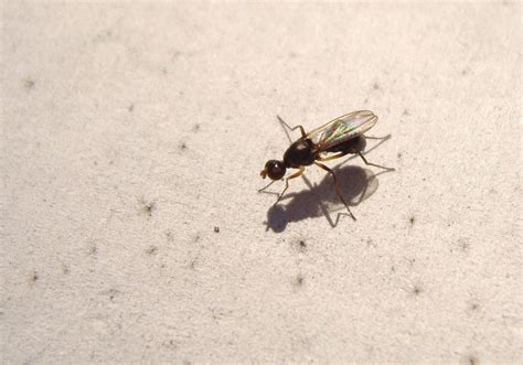 tiny black flies in house treknature tiny fly sepsidae photo