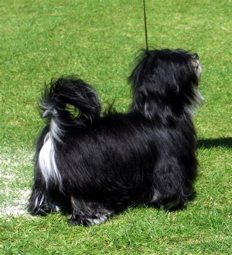 havanese silk silk dogs havanese puppies are here