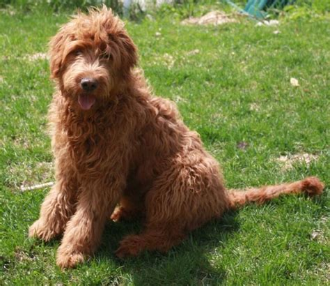 goldendoodle bred with golden retriever 17 best ideas about goldendoodle temperament on labradoodle puppies