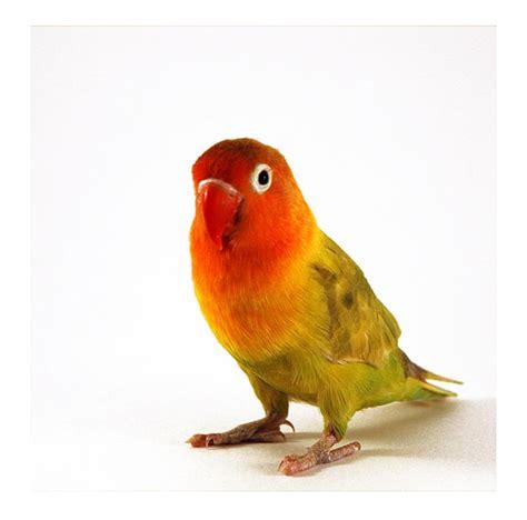 Beanie Warna Kuning ali s adventures lovebird