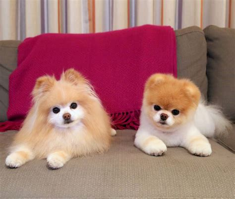 buddy the pomeranian 17 best images about boo buddy the pomeranians on angry cutest