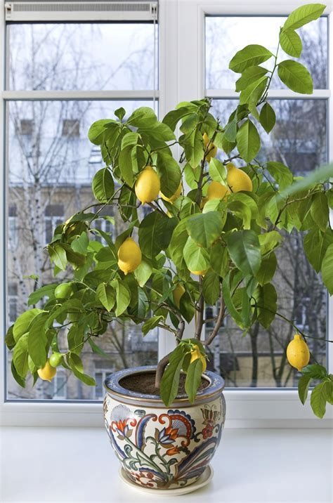 indoor fruit plants citrus trees the perfect houseplants fast growing trees