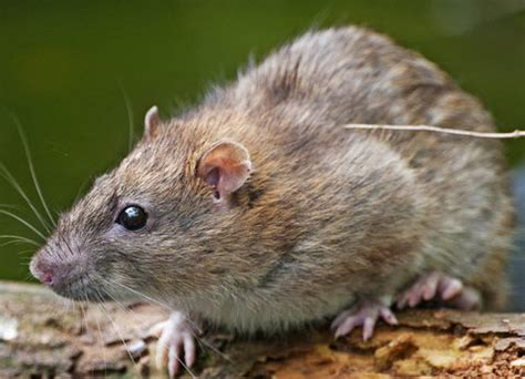 Backyard Rodents by Get Rid Of Rats In Your Garden Or Yard