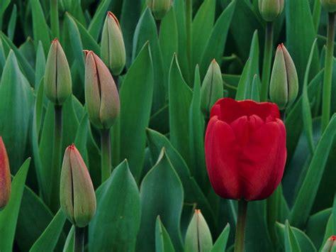 tulipano linguaggio dei fiori energiavitale gt