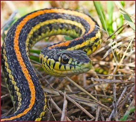 Garden Snake Canada 114 Best Images About Reptiles In Canada On