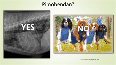 murmur in puppies grade 2 what s new with pimobendan current research and treatment recommenda