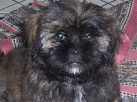 pekingese and shih tzu mix puppies for sale pekingese shih tzu mix puppies for sale images
