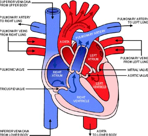color of oxygenated blood in what parts of the heart do you find oxygenated blood
