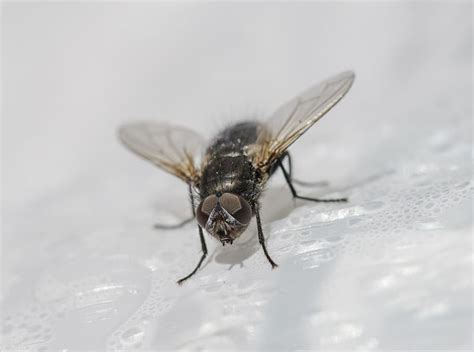 House Flies House Fly Prevention Pittsburgh House Fly Control