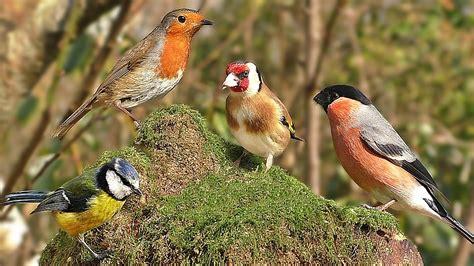 best 28 pictures of birds chirping robin birds