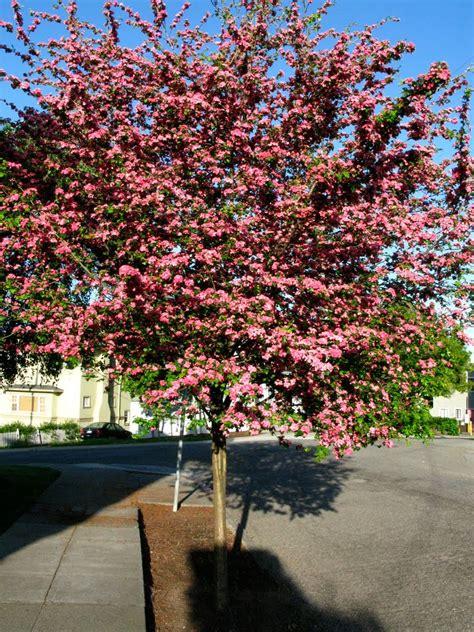 tree identification crataegus laevigata english hawthorn