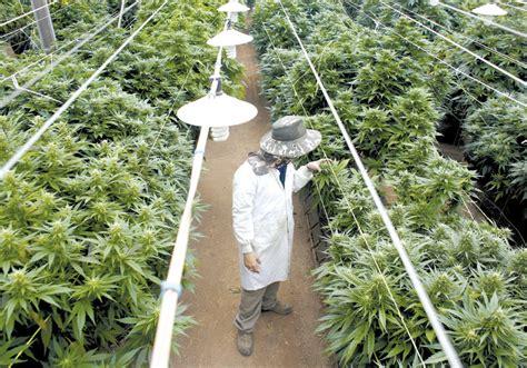 Marijuana Background Check Israeli Marijuana Is Growing But Exports Nowhere To Go Israel News Jerusalem