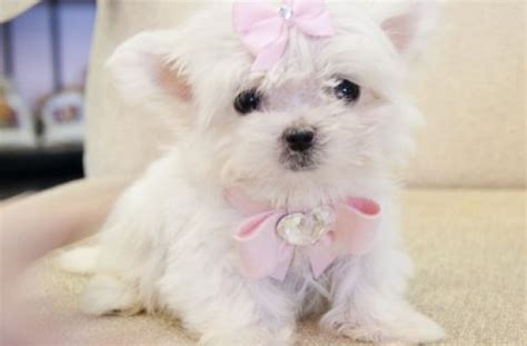 cheap pug puppies for sale nsw teacup maltese puppies for sale perth classifieds litle pups