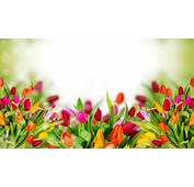 Colorful Tulip Flowers Background Images  New Hd WallpaperNew