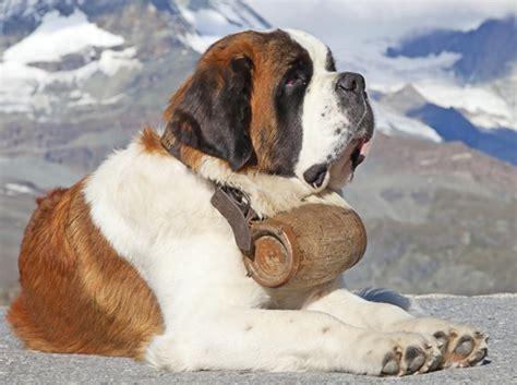 dieta para san bernardo dottordog i musei del cane dottordog