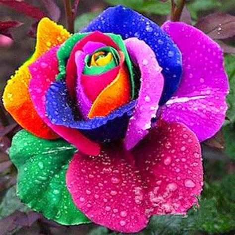 imagenes rosas de todos los colores violetas rosa arco iris rainbow roses