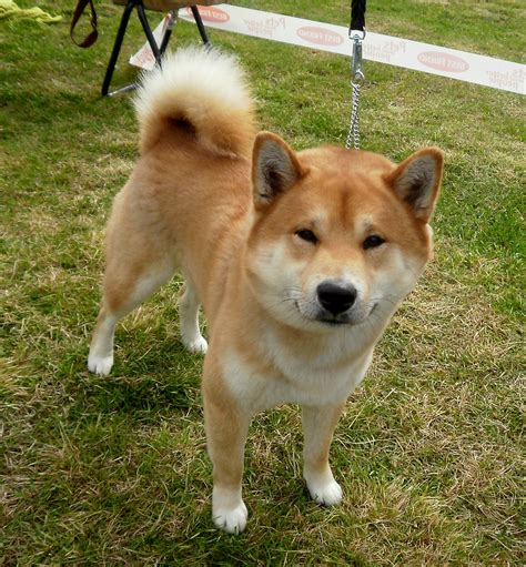 shiba puppy shiba inu photo and wallpaper beautiful shiba inu pictures