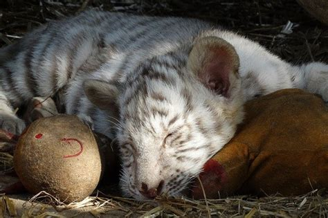 baby white tiger cubs white tiger facts for all about white tiger kidz feed