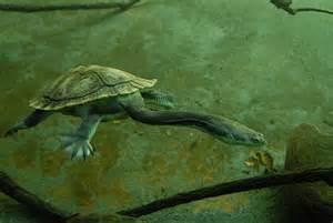Galleries gt gt animals gt gt san diego zoo gt long neck turtle underwater