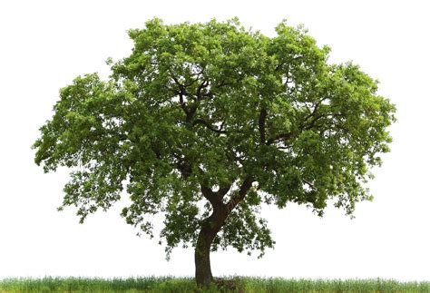 large trees loan oak tree free images at clker vector clip