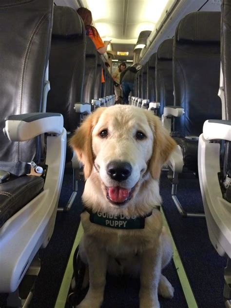 puppy on plane no bones about it guide dogs for the blind s
