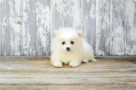 teacup puppies for sale missouri teacup pomeranian puppies for sale in missouri ombin