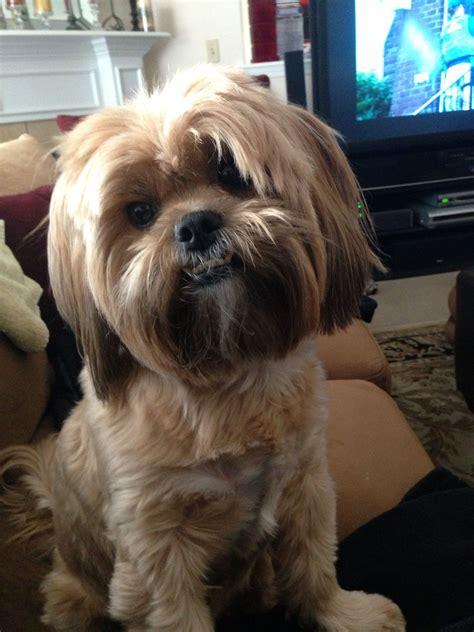 shorkie dog different hair styles shorkie dog haircuts before and after shorkie dog haircuts