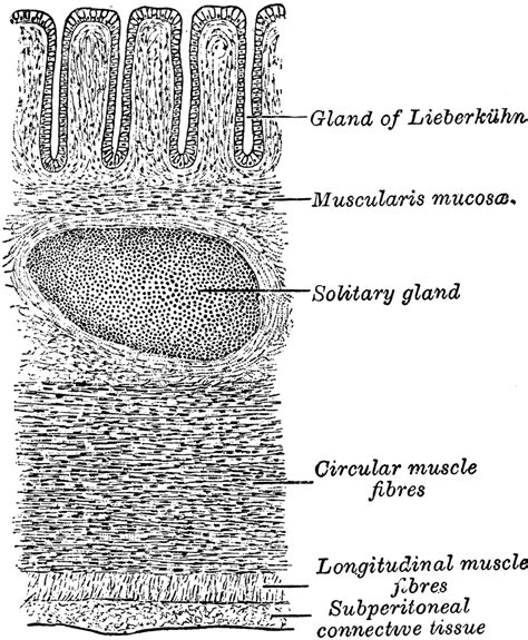transverse section of small intestine transverse section of the wall of the large intestine