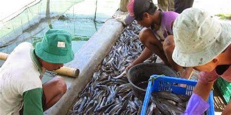Bibit Lele Cirebon untung 10 jt per hari dengan budidaya lele azolla magelang