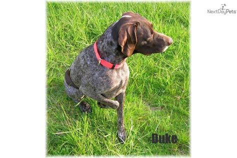 german shorthaired pointer puppies for sale oregon german shorthaired pointer for sale for 500 near eugene oregon 5d88e6b7 d581