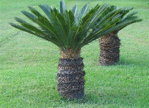 sago palm photo elaine etfitz photos at pbase com