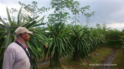 Bibit Buah Naga Banyuwangi dari jeruk petani beralih ke buah naga 2