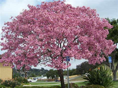 Bibit Bunga Tabebuia jual pohon tabebuya di bogor jual bibit tanaman