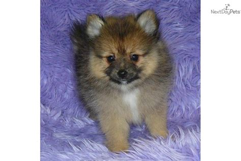 pomeranian puppies for sale east meet a pomeranian puppy for sale for 750 delivery east coast