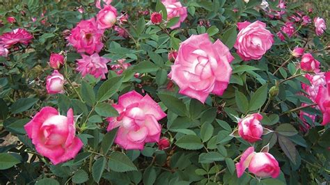 star roses  plants wins  awards   arts