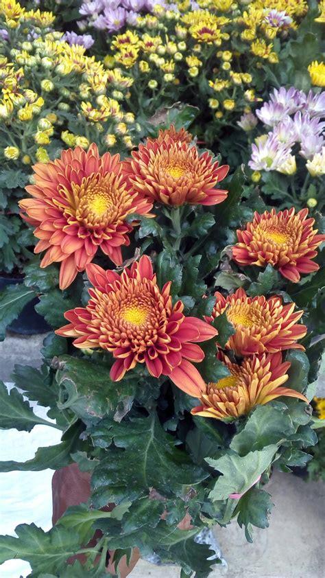 tanaman hias bunga krisan anget mas