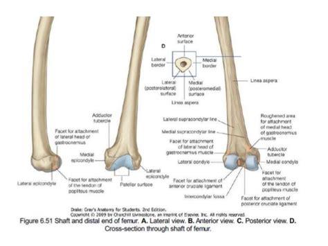 Proximal Femur Anatomy