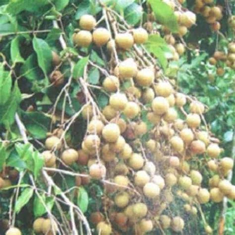 Pupuk Untuk Bunga Lada jual bibit unggul tanaman kelengkeng biji lada bibit