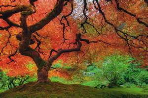 tree colors japanese maple tree in autumn photograph by david gn