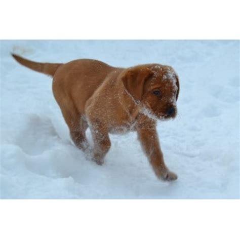 free puppies in wisconsin labrador retriever lab breeders in wisconsin freedoglistings