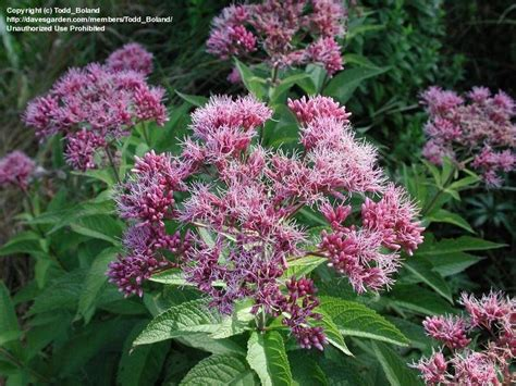 plantfiles pictures spotted joe pye weed eupatorium