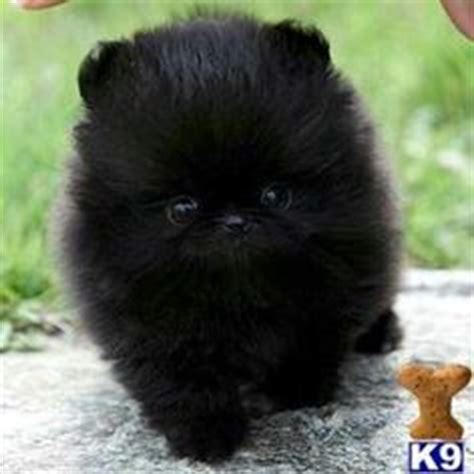 all black pomeranian puppies 1000 images about pets on black pomeranian pomeranians and cats