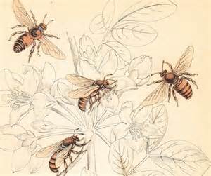1843 honey bee apis ligustica antique entomology bee print