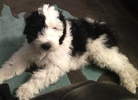 Color For Calm by Sheepadoodle Sheepdog Poodle Mix Info Miniature