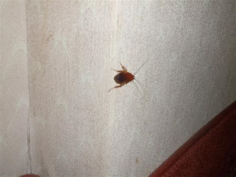 bed bugs las vegas bed bug picture of circus circus hotel casino las